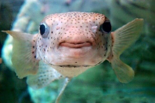 puffer fish trump 6