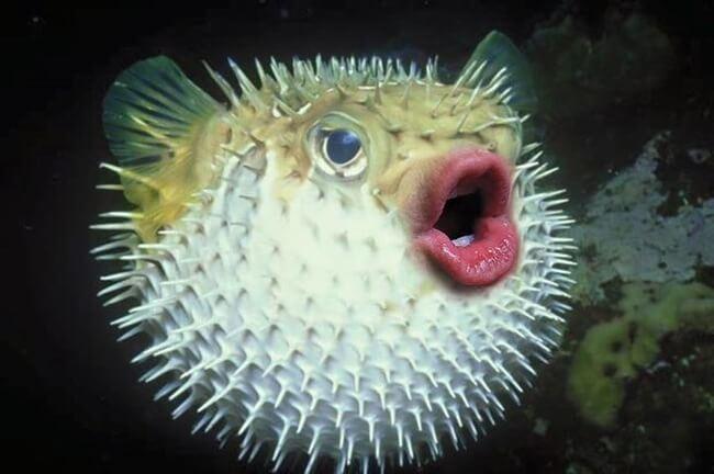 puffer fish trump 1