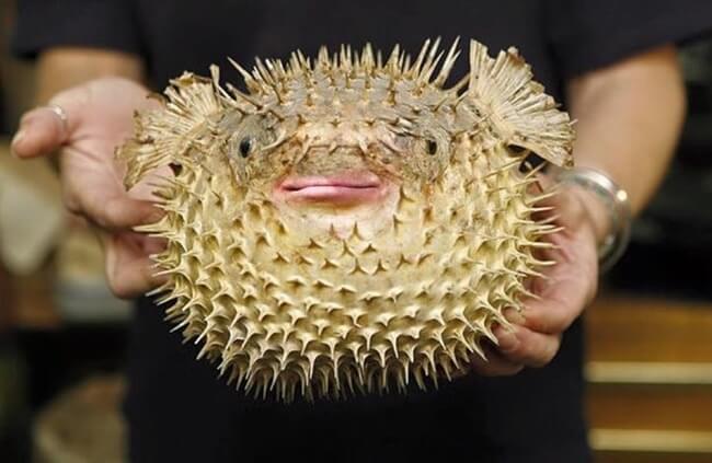 puffer fish trump 5