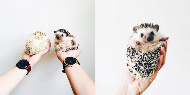 instagram hedgehog profile