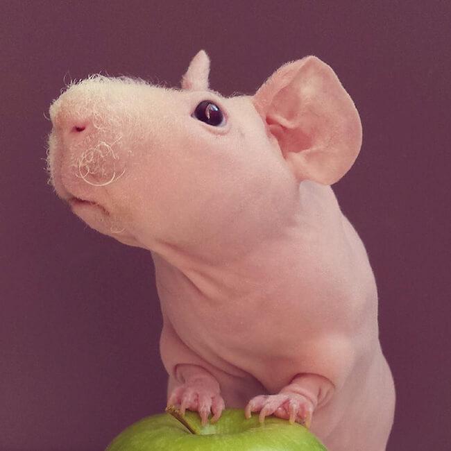 naked guinea pig 15