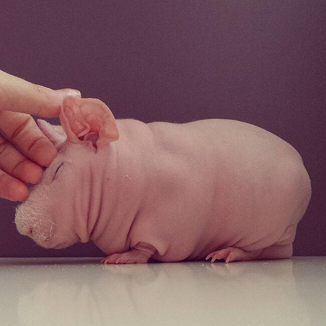bald guinea pig 5