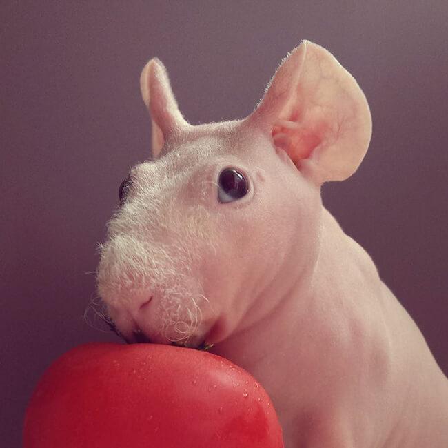 naked guinea pig 17