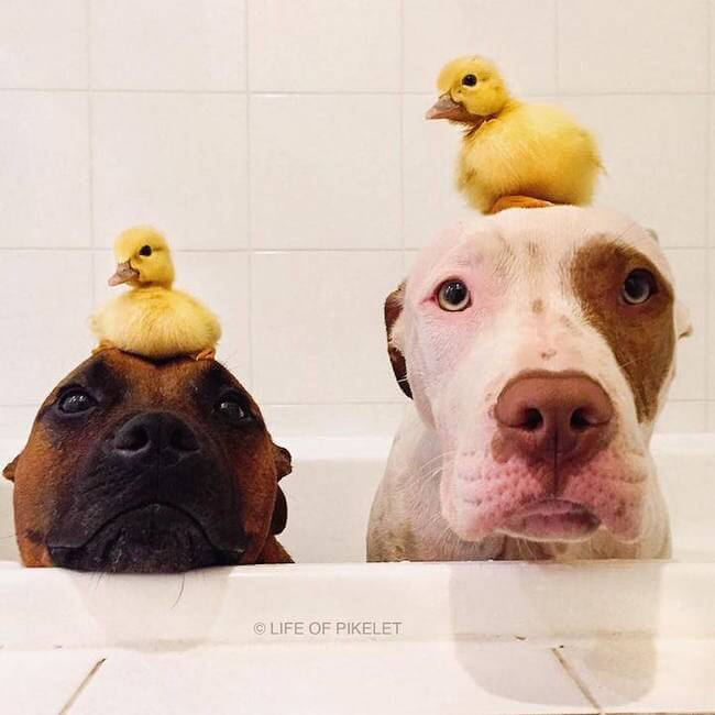 Adorable Dog Brothers Fell In Love With Their New Duckling Family Members 1