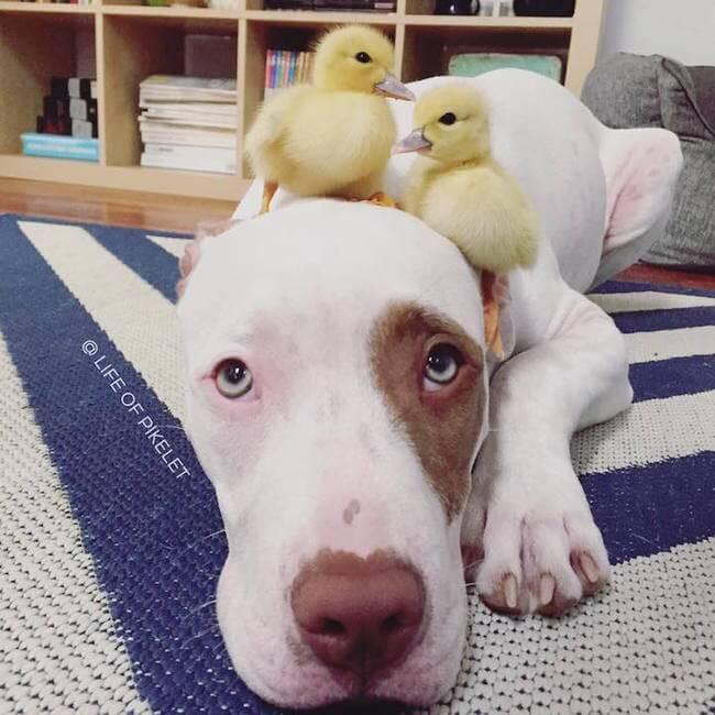 Adorable Dog Brothers Fell In Love With Their New Duckling Family Members 2