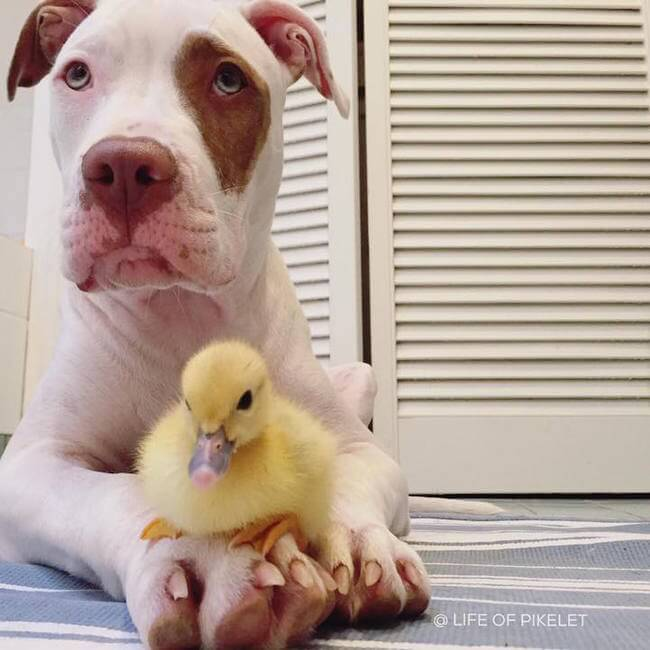 Dog Brothers Instantly Bond with Duckling 3