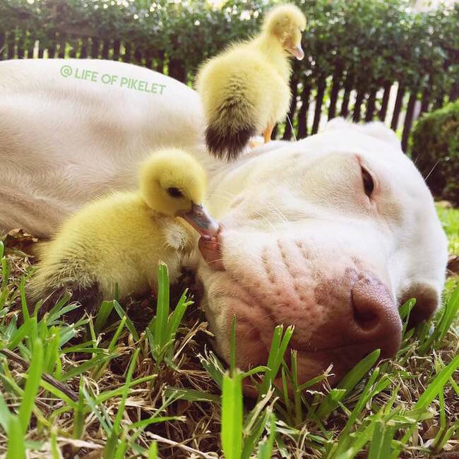 Dog Brothers Instantly Bond with Duckling 4
