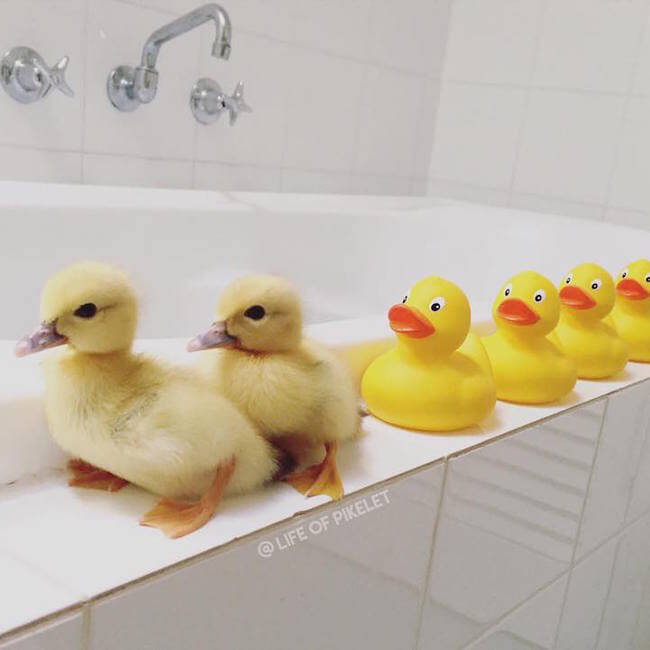 Adorable Dog Brothers Fell In Love With Their New Duckling Family Members 8