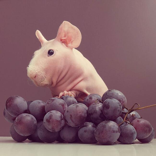 bald guinea pig 1