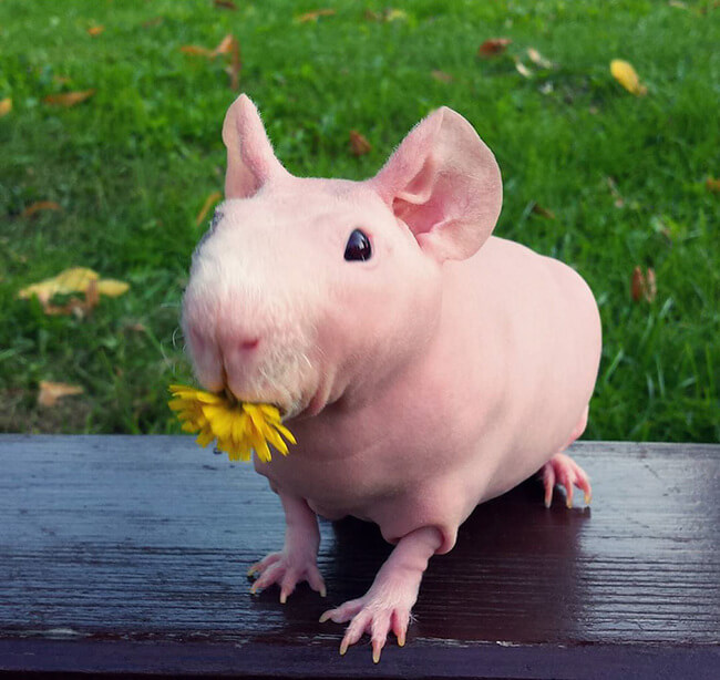 naked guinea pig 19