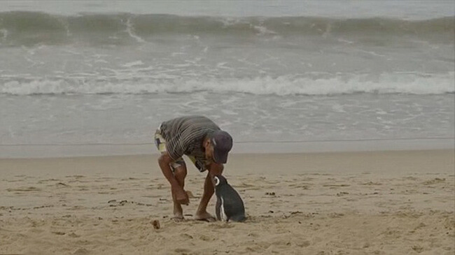 Penguin Swims 8,000KM Every Year To See The Man Who Saved His Life 3