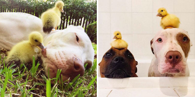 dog brothers adopt ducklings