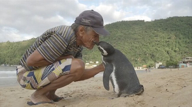 Penguin Swims 8,000KM Every Year To See The Man Who Saved His Life 2