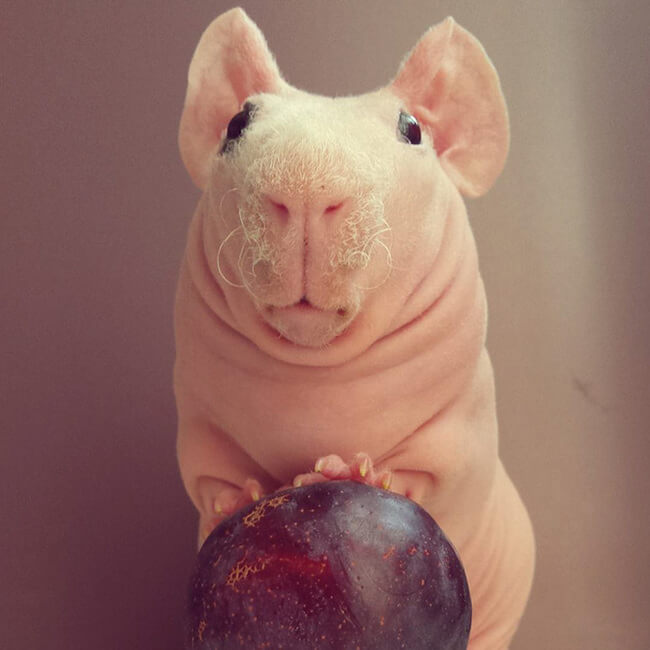 naked guinea pig 16