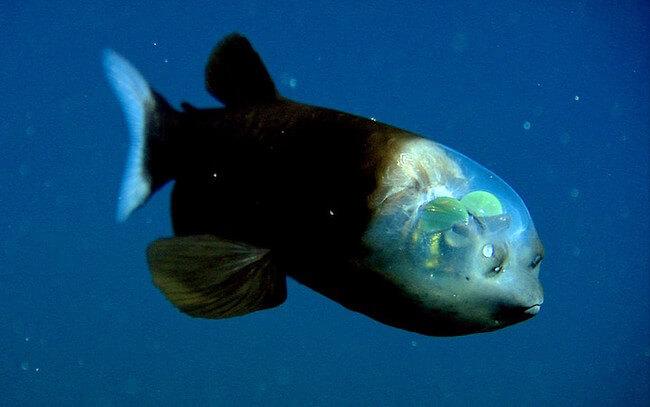 see through fish 1