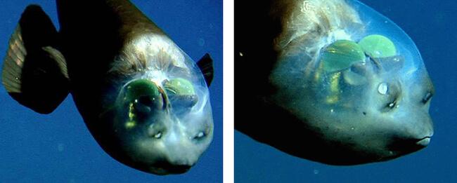 see through fish 4