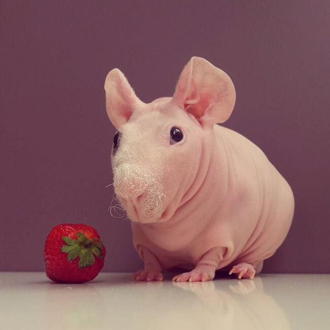 bald guinea pig 6