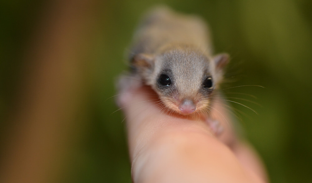 tiny feathertail glider joeys (1)