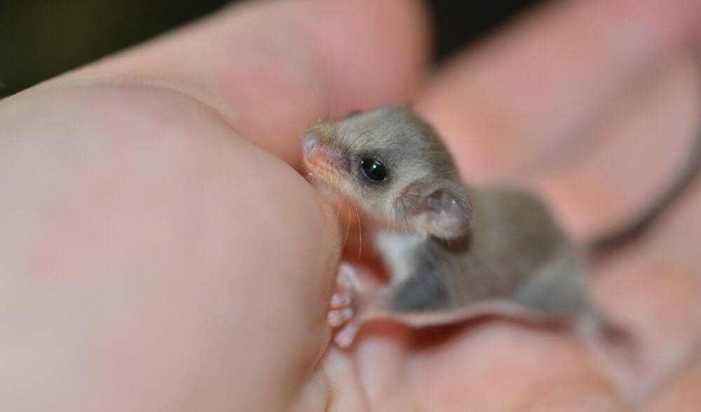 tiny feathertail glider joeys 2 (1)