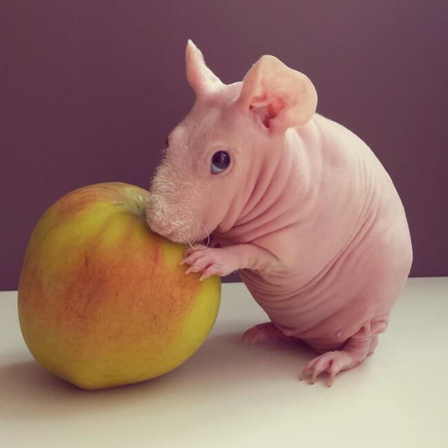 bald guinea pig 2