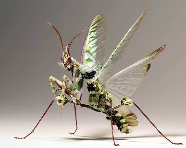 pink mantis 8