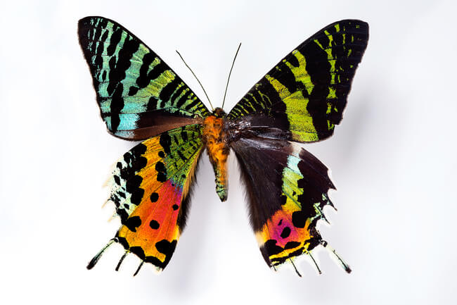 why butterfly wings are colorful 1