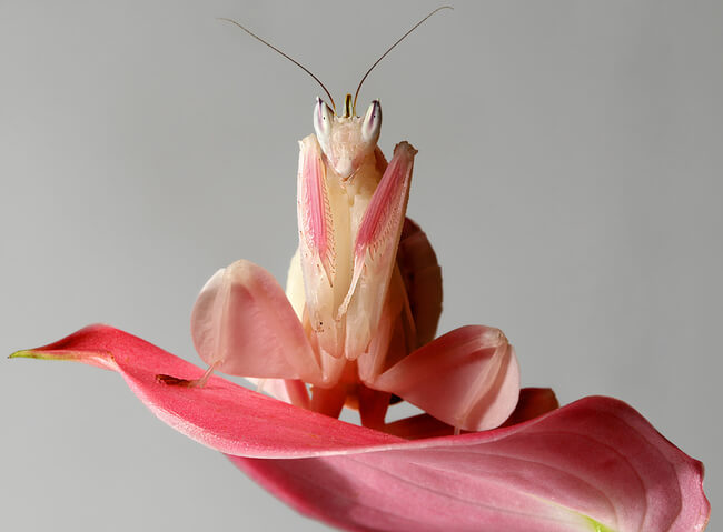 pink orchid mantis 3