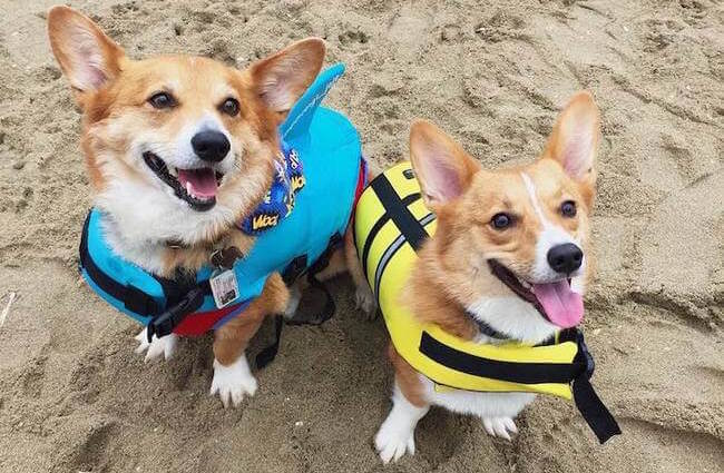 cute corgies