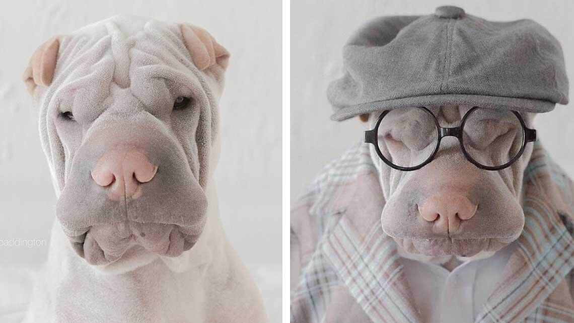 incredible wrinkle dog (1)