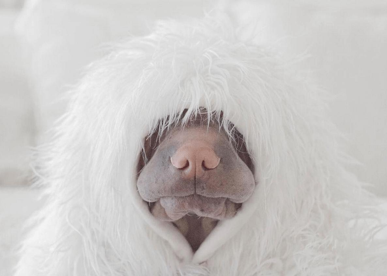 incredible wrinkle dog 10 (1)