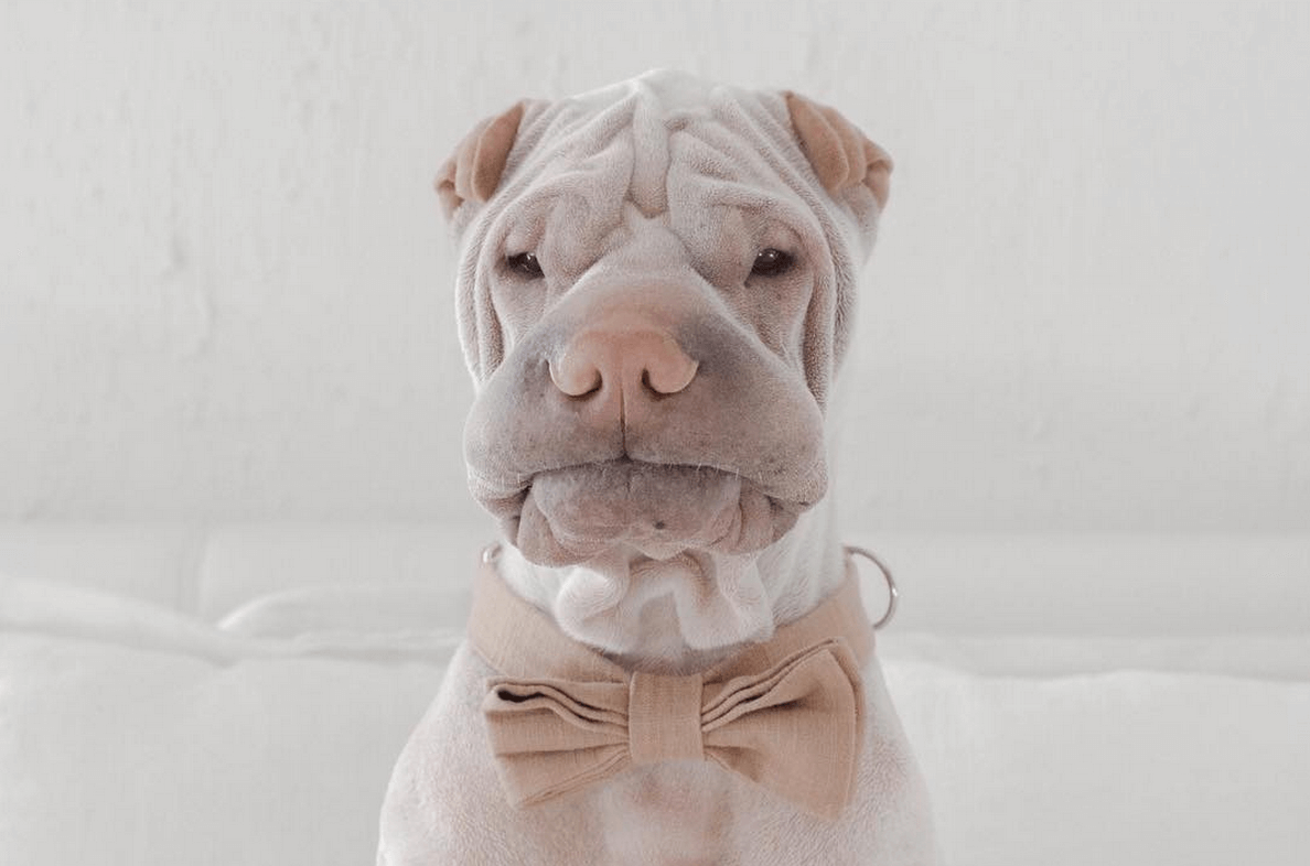 incredible wrinkle dog 5 (1)