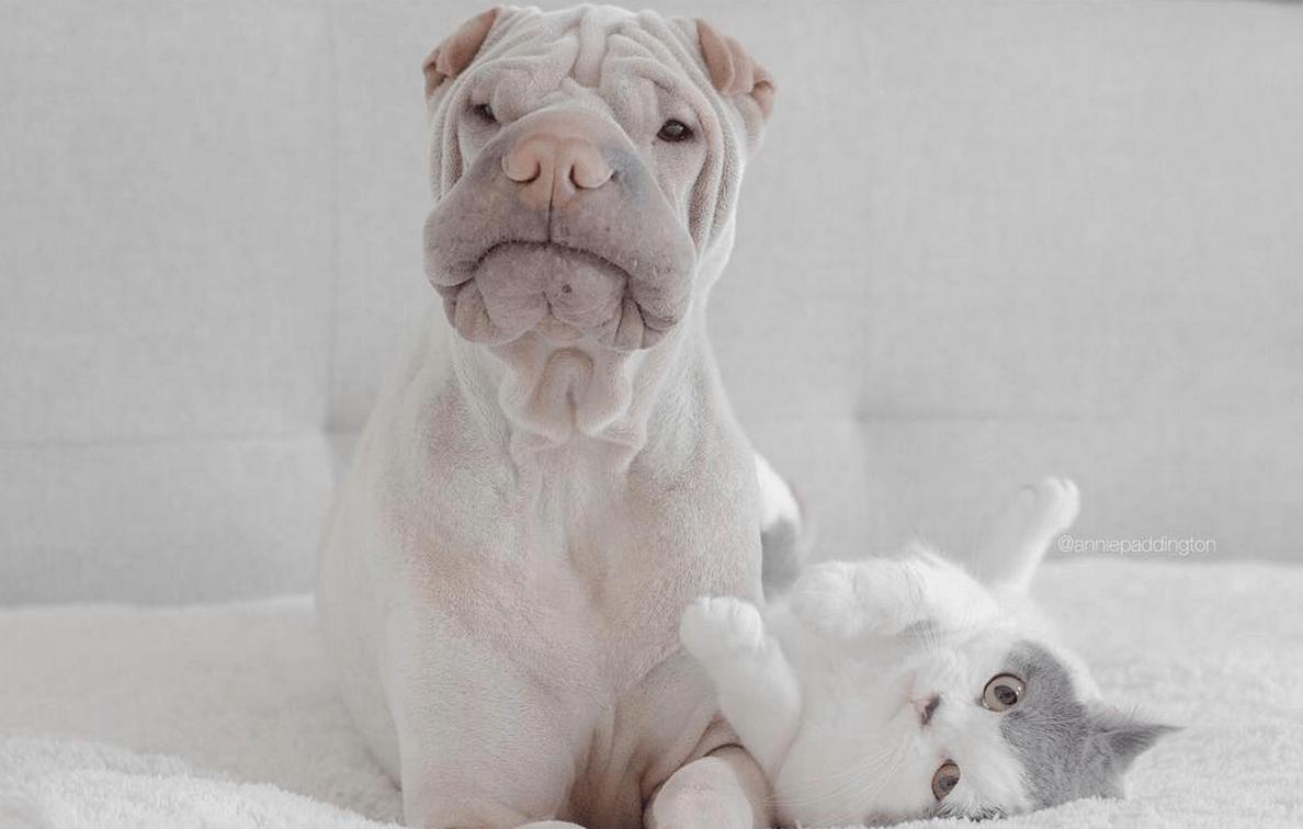 incredible wrinkle dog 6 (1)