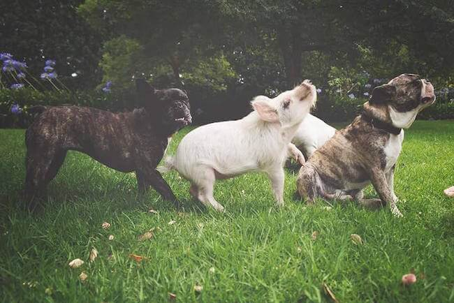 pig growing with dogs thinks he's a dog 13