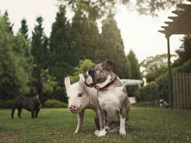 pig growing with dogs thinks he's a dog 11