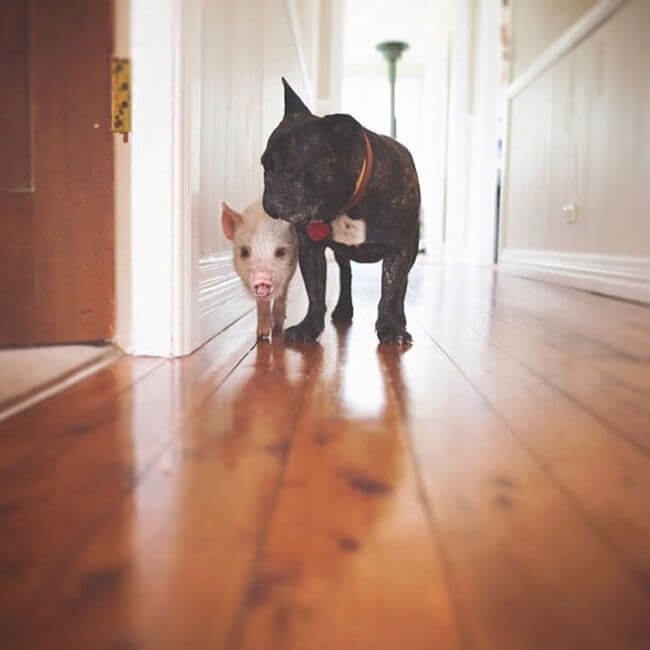 pig growing with dogs thinks he's a dog 12