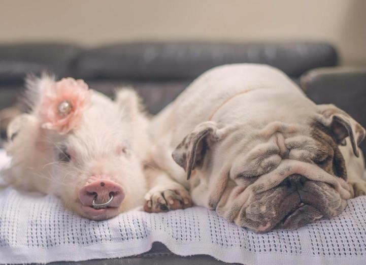 Adorable Pig Grows Up With Dogs Thinks She's a Puppy Too 2