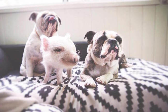 pig growing with dogs thinks he's a dog 7