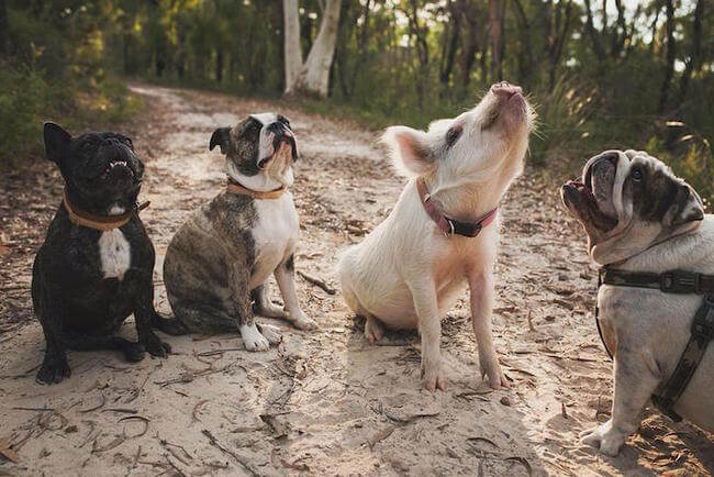 Adorable Pig Grows Up With Dogs Thinks She's a Puppy Too 1