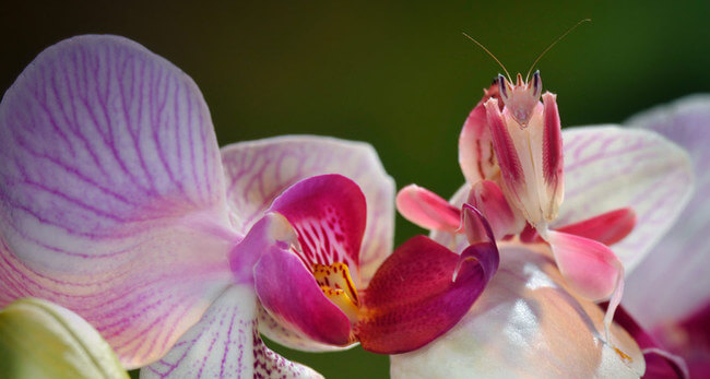pink orchid mantis 2