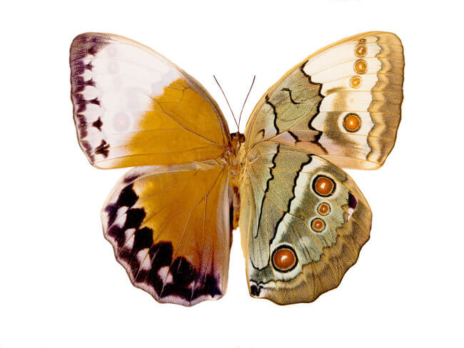 why butterfly wings are colorful 6