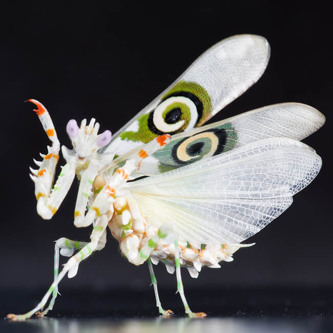 pink orchid mantis 5