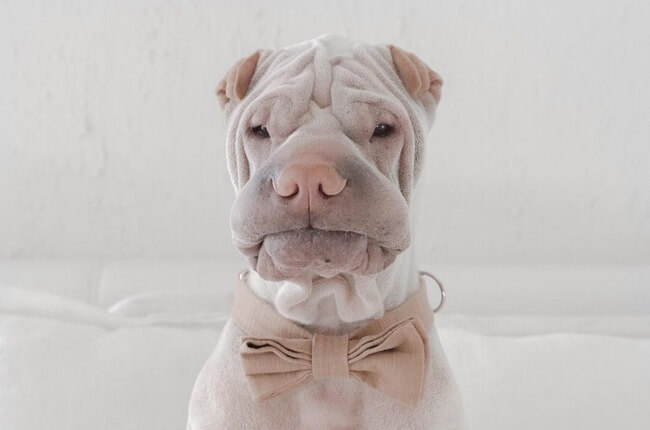 wrinkle dog