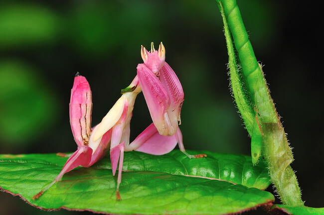 Pink Orchid Mantis Gloriously Looks Like A Beautiful