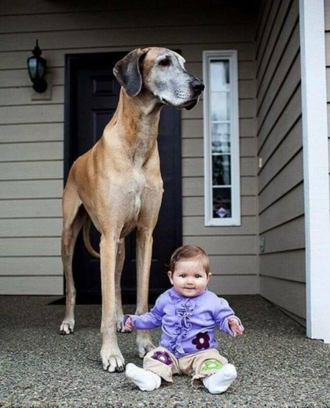 biggest dogs in the world 1