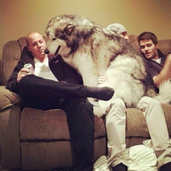 huge dogs of the world 16