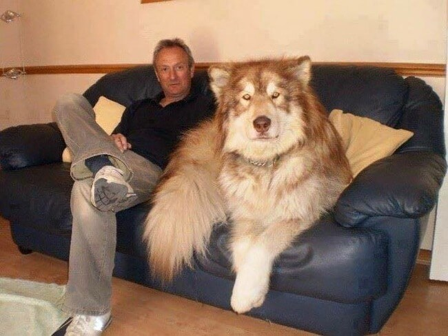 bigger dogs in the world 8