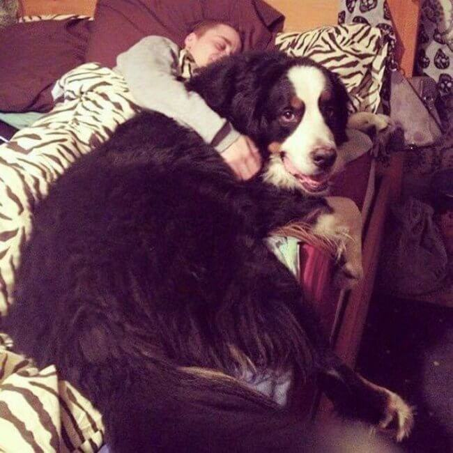 biggest dogs in the world 13