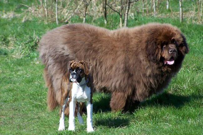 biggest dogs in the world 27
