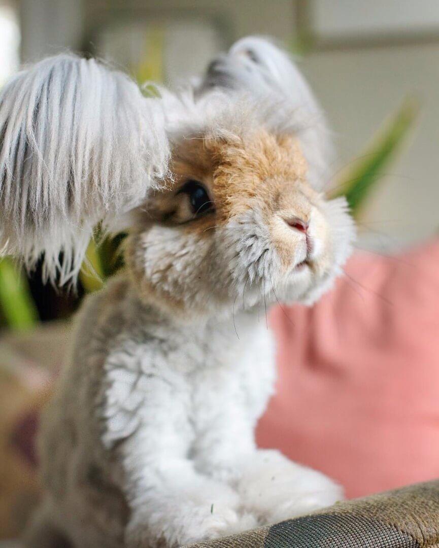 angora fluffy bunny 1 (1)
