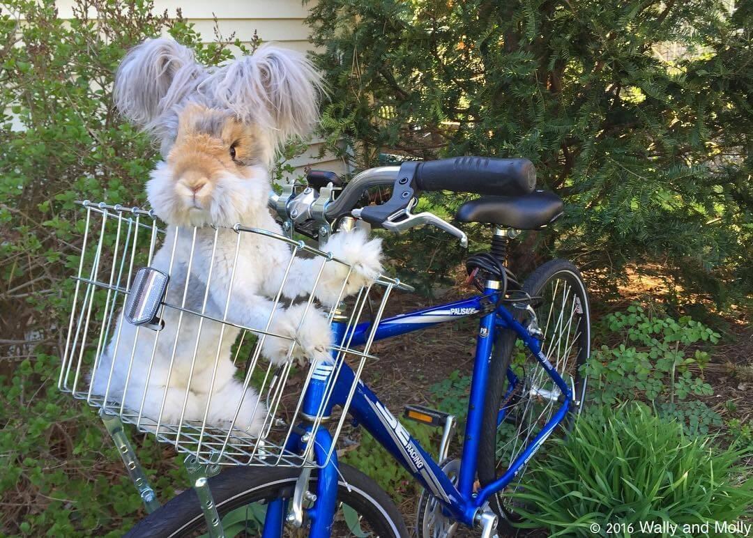 angora fluffy bunny 4 (1)